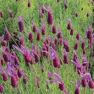 Lavandula stoechas 'Purple Ribbon' | highcountrygardens.com