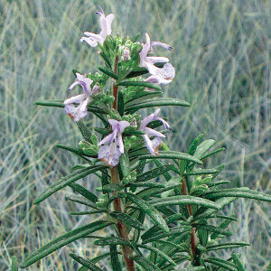 Rosmarinis officinalis 'Alcalde Cold Hardy' | highcountrygardens.com