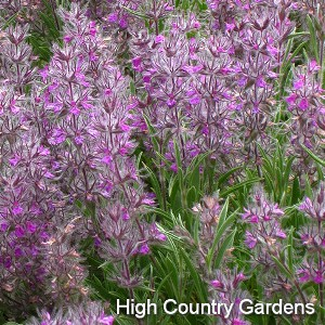 stachys lavandulifolia Pink Cotton Lambs Ear | highcountrygardens.com