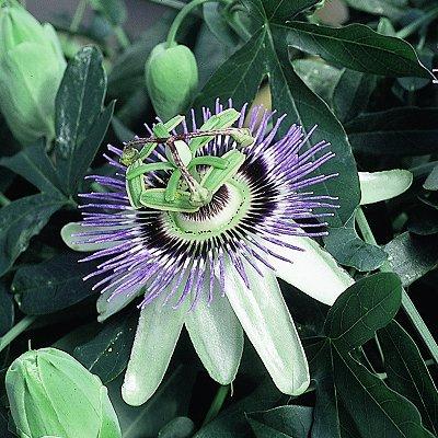 passiflora caerulea (passionflower) | selectseeds.com