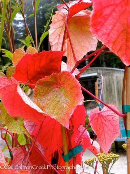 vitis coignetiae (crimson glory vine) | diggingdog.com