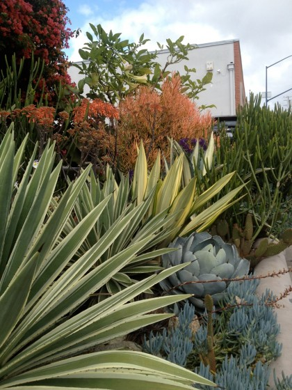Hillcrest neighbood, San Diego: yucca, agave and lots of succulents and cactus I can't identify