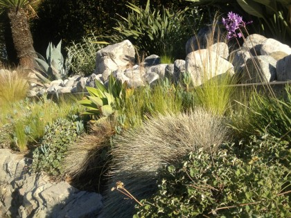 Los Feliz neighborhood, L.A.: Nassella tenuissima, agave, festuca glauca, salvia and, hmm, something else