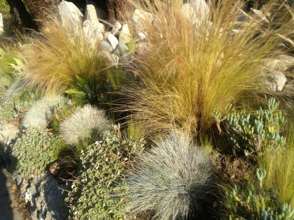 Los Feliz neighborhood, L.A.: Nassella tenuissima again, festuca glauca and succulents