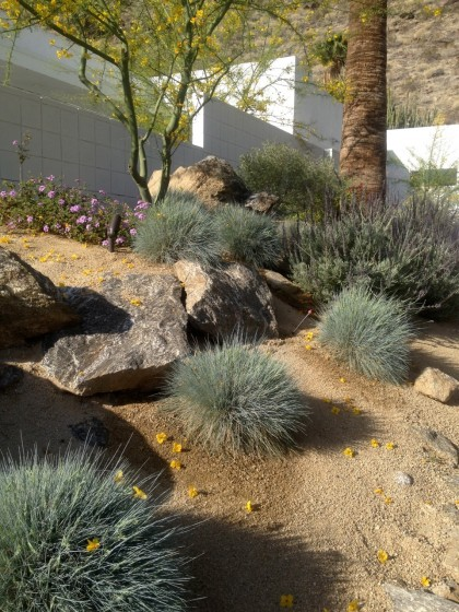house we rented in Palm Springs: festuca glauca and lavender, purple lantana underneath the palo verde tree