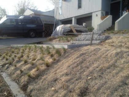 hillside planting: mexican feather grass in