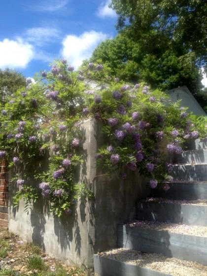 my wisteria amethyst falls