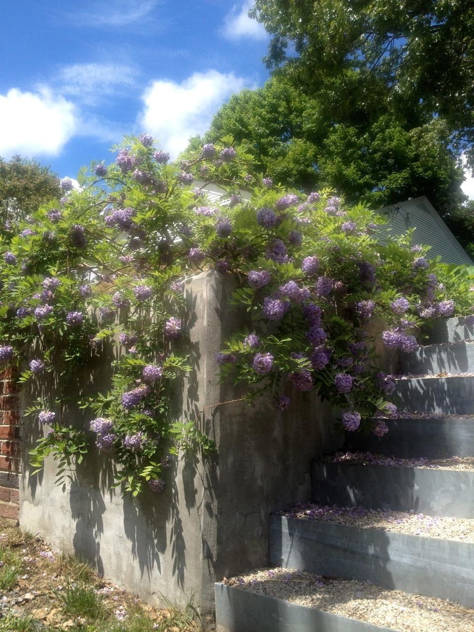 american wisteria amethyst falls