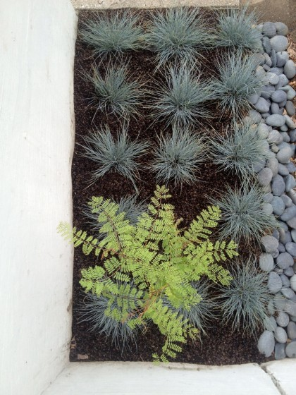 festuca glauca 'elijah blue' and caesalpinia gilliesii (yellow bird of paradise) next to the front steps