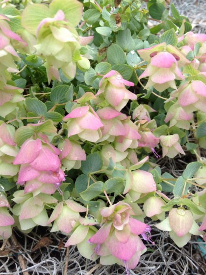 Origanum rotundifolium 'kent beauty' (ornamental oregano) just beginning to bloom