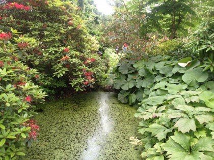 petasites and rhododendrons circle the pond