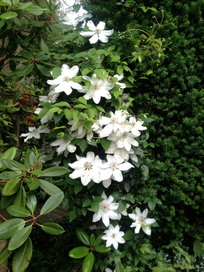 clematis climbing a wall of hedge