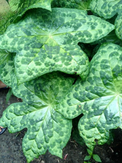 podophyllum spotty dotty... great name, amazing leaves