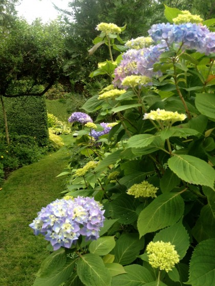 a grassy path past the hydrangeas leads us on