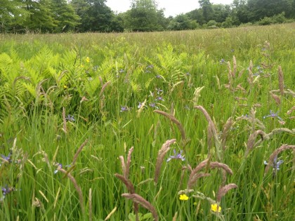 meadow of grasses, wild flag and fern