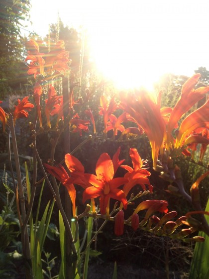 dawn: crocosmia 'lucifer'