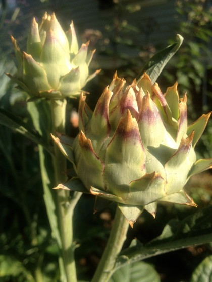 dawn: cynaria cardunculus (cardoon) about to open