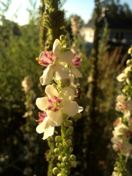dawn: verbascum 'album'