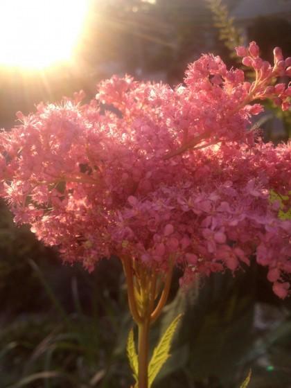 dawn: filipendula 'kakome' (meadowsweet)