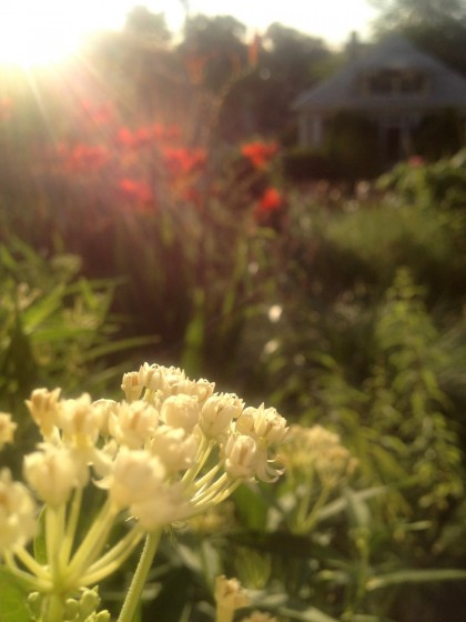 dawn: aesclepias tuberosa 'ice ballet' (butterfly weed)