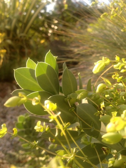 dawn: euphorbia myrsinites (donkeytail spurge), origanum 'amethyst falls' (ornamental oregano) about to bloom and festuca glauca 'elijah blue' (blue fescue)