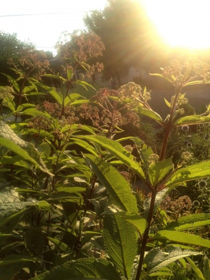 dawn: eupatorium maculatum (Spotted Joe Pye Weed)