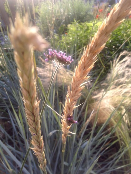 dawn: elymus arenarius 'blue dune' (blue lyme grass),  nassella tenuissima (Mexican feather grass) and verbena bonariensis