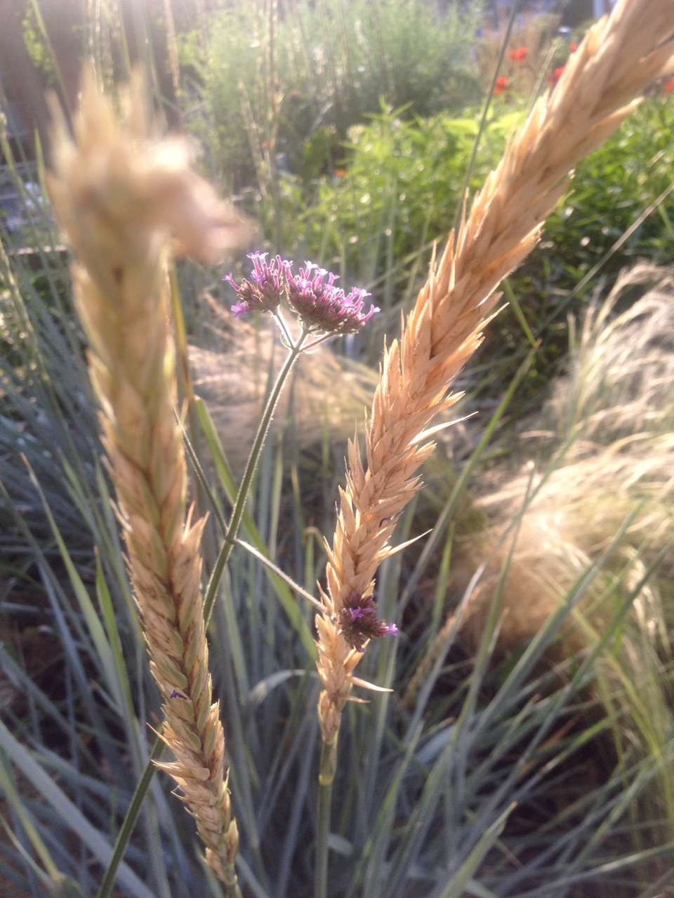 Blue lyme grass blue dune - Dawn Elymus Arenarius Blue Dune Blue Lyme Grass Nassella Tenuissima