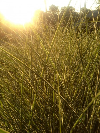 dawn: miscanthus 'morning light'... appropriately enough