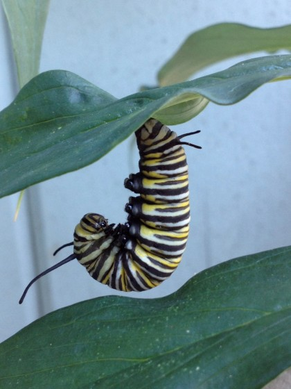 monarch butterfly caterpillar: day 1