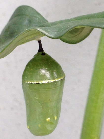 monarch pupa: day 6