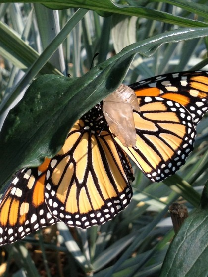 monarch midwife: the wings finally open