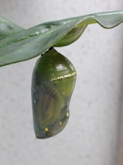 monarch pupa: day 12 omg i can finally see you!