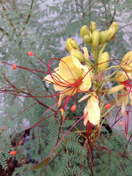 Caesalpinia gilliesii (Yellow Bird of Paradise) bloom, closeup... very Dr. Seuss