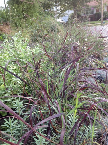 the grasses are finally filling in... Panicum virgantum 'Ruby Ribbons' with Euphorbia 'Blue Haze' and Salvia pachyphylla 'Blue Flame', Gaura lindheimeri 'Whirling Butterflies' blooms behind
