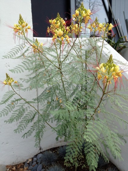 Caesalpinia gilliesii (Yellow Bird of Paradise ) in all its crazy glory, late August
