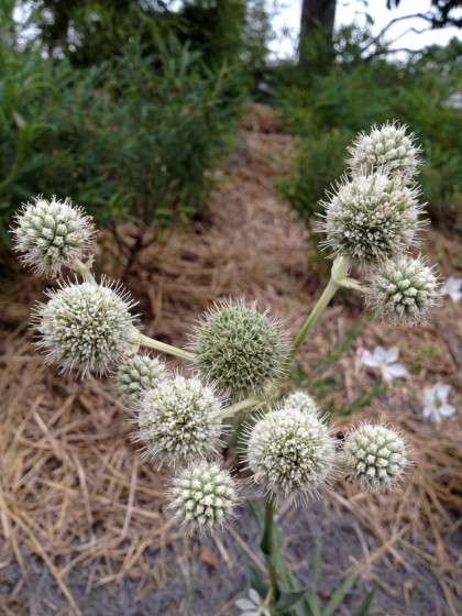 The alien-looking Eryngium yuccafoliums (Rattlesnake Master) really stand out; Comptonia peregrina (Sweetfern) behind