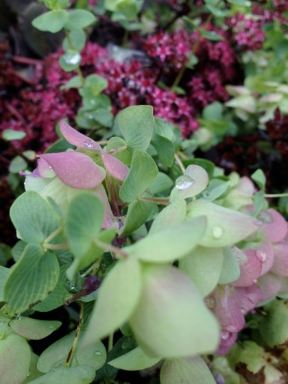 a closer look at origanum 'Kent Beauty' and Sedum telephium 'Sunset Cloud'