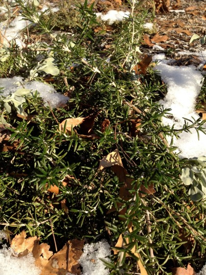 rosemarinis officianalis 'prostratus' (creeping rosemary in january